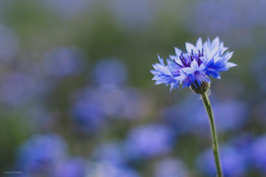 Kornblume im Vordergrund mit Bokeh anderer Blüten im Hintergrund.